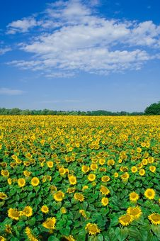 Free Sunflower Field Stock Photos - 22091793