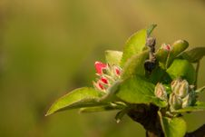 Free Flowering Of Apple Tree. Stock Image - 22094421