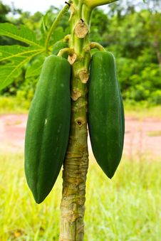 Free Young Papaya Royalty Free Stock Photo - 22094805