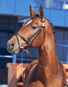 Free Portrait Of Nice Bay Horse At Blue Background Royalty Free Stock Photo - 22097175