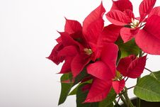Free Closeup With Red Poinsettia Stock Images - 22097224
