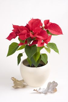 Pot With Red Christmas Flower Royalty Free Stock Images