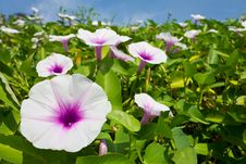 Free Morning Glory Flower. Stock Image - 22098161
