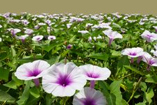 Free Morning Glory Flower. Stock Image - 22098241