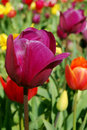 Free Purple Tulips And More Royalty Free Stock Photos - 2211778