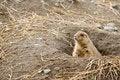 Free Fuzzy Brown Prairie Dog Stock Image - 2217741