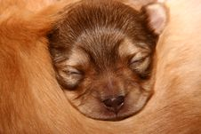 Free Baby Chihuahua Royalty Free Stock Images - 2210239