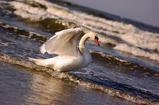 Free Swans On Sea Stock Image - 2210441