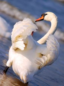 Free Swans On Sea Royalty Free Stock Photo - 2210445