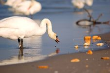 Beautiful Swan Eating Bread Stock Image