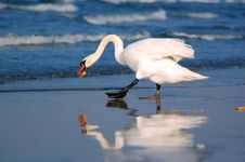 Swan Going Back To Sea With A Stock Photography