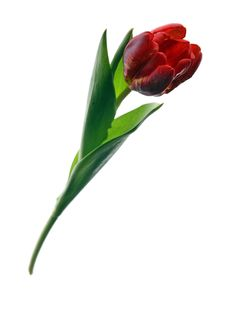 Free Tulip Royalty Free Stock Photography - 2210797