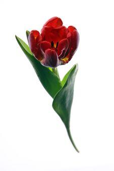 Free Tulip Stock Images - 2210824
