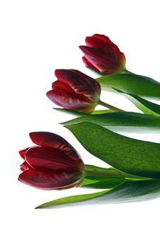 Free Tulip Royalty Free Stock Photos - 2210838