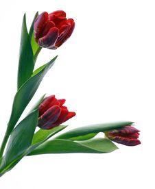 Free Tulip Stock Image - 2210841