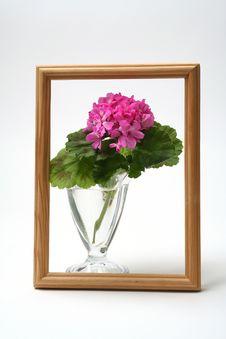 Free Blossoming Geranium Royalty Free Stock Photos - 2211178