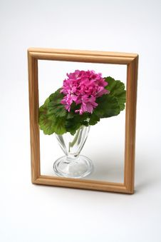Free Blossoming Geranium Royalty Free Stock Photo - 2211185