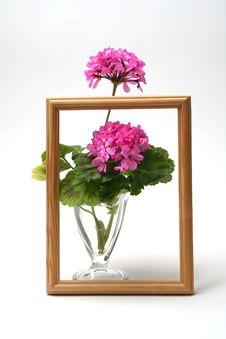 Free Blossoming Geranium Stock Photo - 2211190