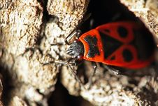 Free Fire Bug On A Tree Bark Royalty Free Stock Image - 2211606