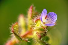 Free Macro -tiny Little Blue Flower Stock Photography - 2211612