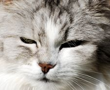 Free Persian Cat Portrait Stock Image - 2213231