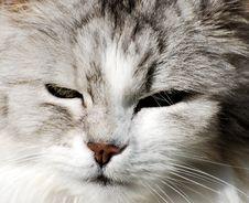 Free Persian Cat Portrait Stock Image - 2213231