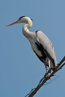 Free Grey Heron Royalty Free Stock Photography - 2214087