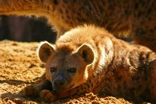 Free Hyena Royalty Free Stock Image - 2214726