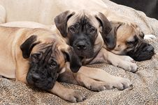 Free Bullmastiff Puppy 88 Royalty Free Stock Photography - 2215237