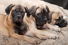 Free Bullmastiff Puppy 89 Royalty Free Stock Photos - 2215278