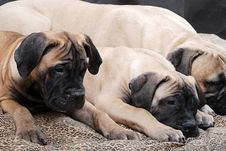 Free Bullmastiff Puppy 91 Royalty Free Stock Images - 2215299