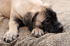 Free Bullmastiff Puppy 32 Royalty Free Stock Photography - 2215807