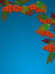 Free Rowanberry Royalty Free Stock Photos - 2216698