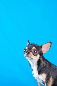 Free Chihuahua 01 Royalty Free Stock Image - 2218746