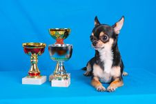 Free Chihuahua 02 Royalty Free Stock Photography - 2218777