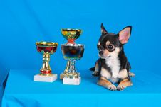Free Chihuahua 03 Stock Photos - 2218783