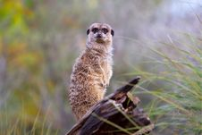 Free Lone Meerkat Royalty Free Stock Photo - 2219625