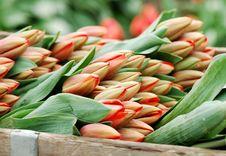 Free Tulip Bundles Stock Photography - 2219722