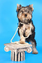 Free Yorkshire Terrier Stock Images - 22106844