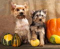 Free Yorkshire Terrier Royalty Free Stock Photo - 22106865