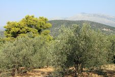 Free Olive Trees Royalty Free Stock Image - 22102626