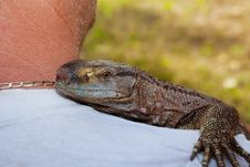 Pet Black Throat Monitor Lizard Royalty Free Stock Image