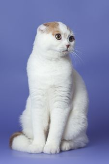 Free Scottish Fold Cat Stock Photo - 22104950