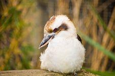 Free Kookaburra Stock Images - 22106584