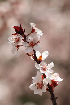 Free Cherry Blossoms Closeup Royalty Free Stock Photography - 22106587