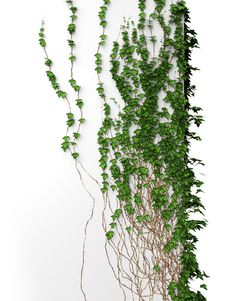 Free 3d Ivy Wall Royalty Free Stock Photos - 22107118