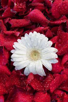 Free White Flower. Royalty Free Stock Image - 22107376