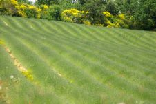 Free Lavander Field Stock Photo - 22108010
