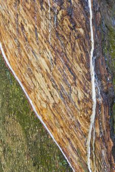 Free Textured Surface Of The Rubber Tree Stock Photos - 22108713