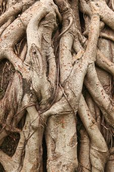 Free Root Tree Stock Photos - 22108823